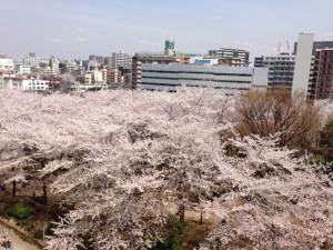 川口駅西公園桜満開